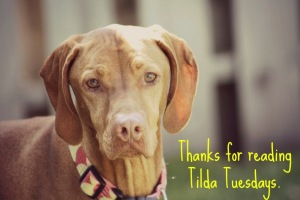 Tilda Tuesday: Camping With Our Vizsla…