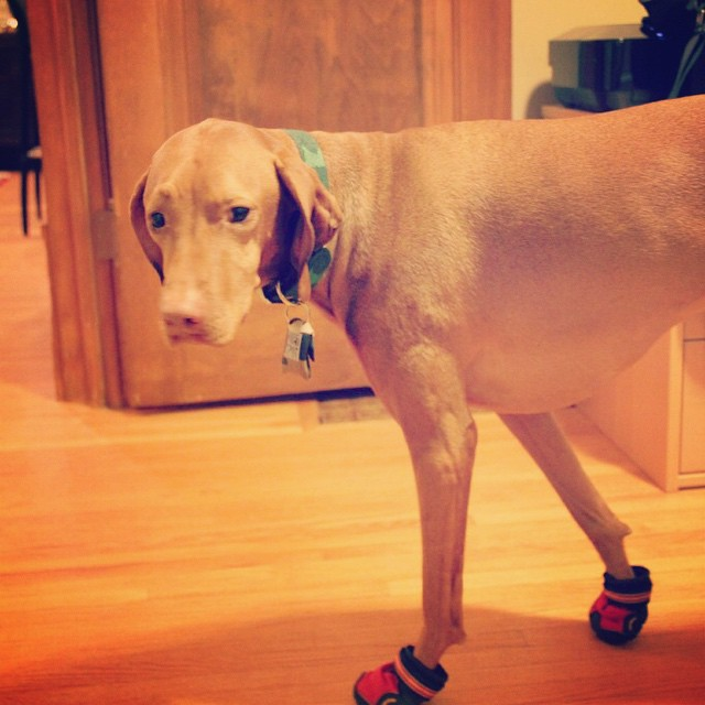 Not a fan of these booties. #gettheseoffme *More cold weather dog tips on the blog today!