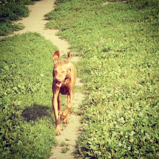 Don't forget the pure joy of running! #vizslasofinstagram #runhappy