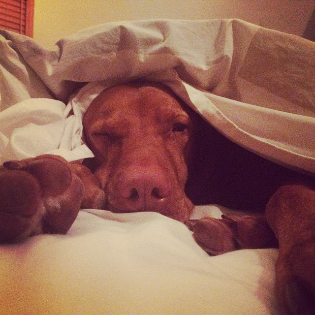 Is it Friday yet? #vizslasofinstagram #doginablanket