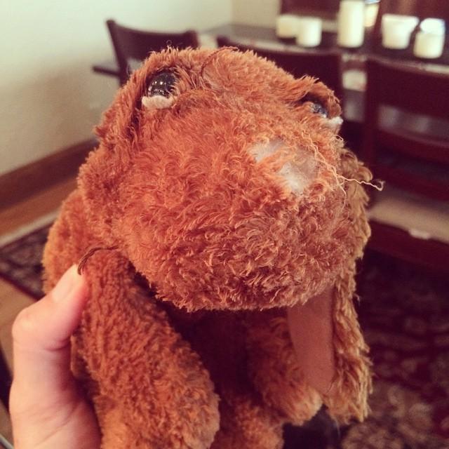 Tilda's favorite toy has seen better days. #vizslasofinstagram #vizsla