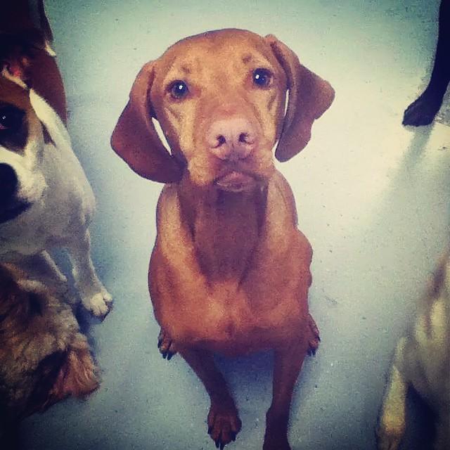 A great day at the Pampered Pooch! #vizslasofinstagram #dogsofinstagram