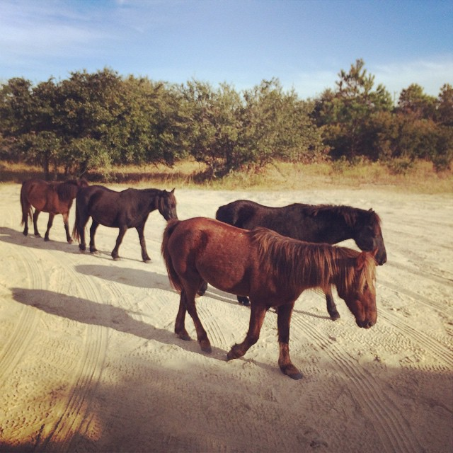 Pretty awesome to see actual wild stallions. #corolla #beautiful