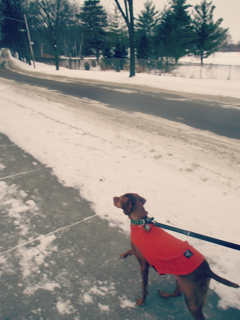 Running vizsla snow