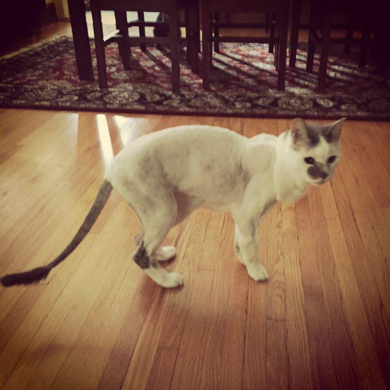 cat shave lion hairdo