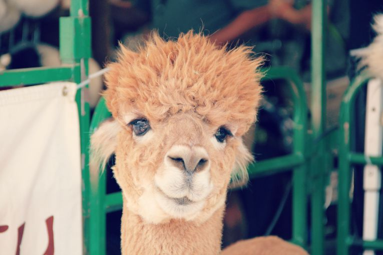 alpaca at fair