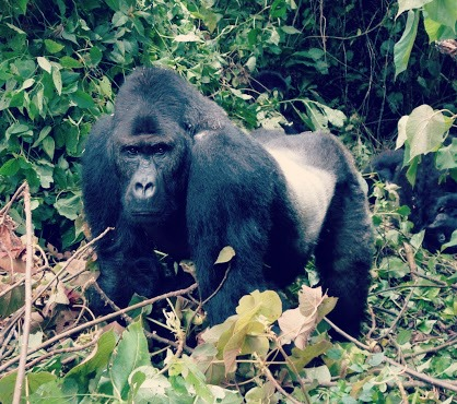 Gorilla africa