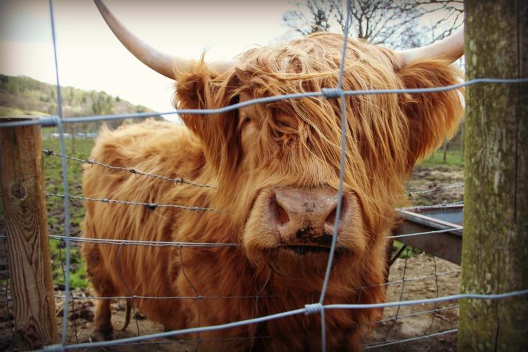 highland cow those bangs
