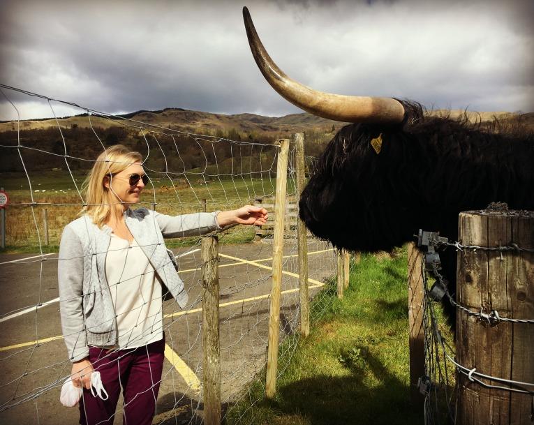 highland cows feed