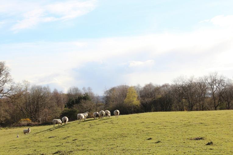 sheep blarcreen