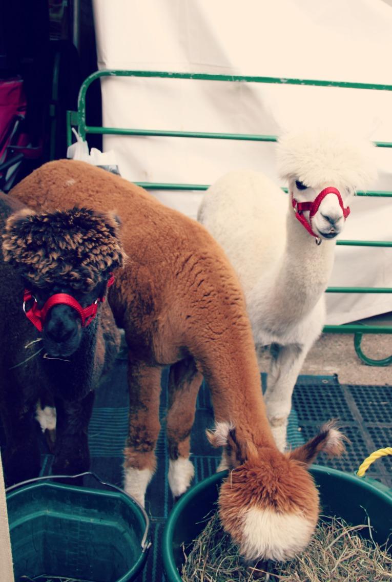 alpaca fair